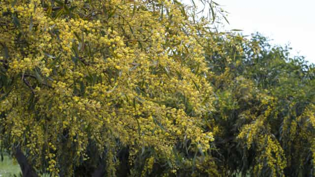 """Mimosas, uma """"séria ameaça"""" que está a invadir as regiões Norte e Centro"""