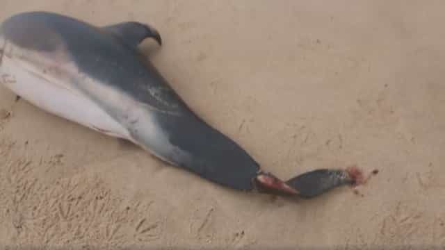 Golfinhos amputados deram à costa nas praias de Santa Cruz