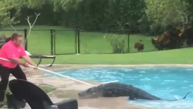 Um jacaré com mais de 2 metros na piscina? Na Flórida, claro