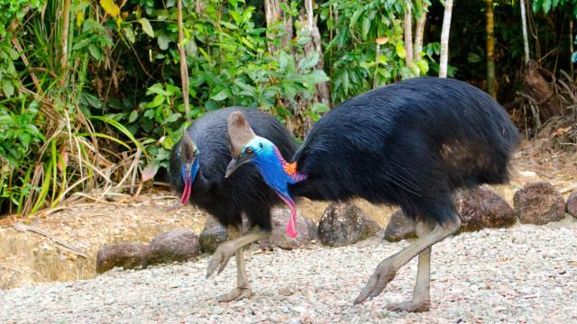 Um dos pássaros mais perigosos do mundo mata o próprio dono