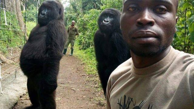 Gorilas posam para selfie com guardas florestais