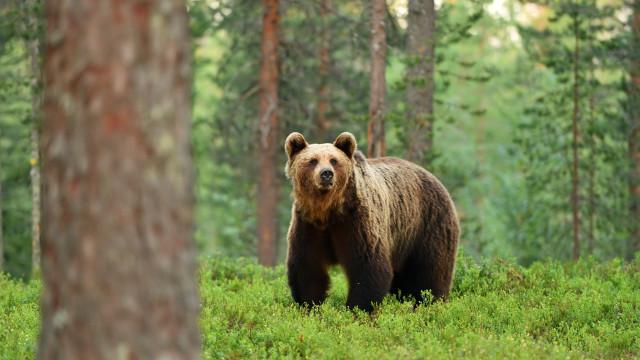 GNR dá as boas-vindas ao urso-pardo e dá-lhe conselhos a si