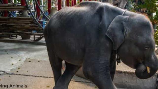 Morreu 'Dumbo', o elefante que dançava para os turistas na Tailândia