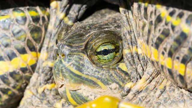 Uma tartaruga-aligator? Este estudante encontrou uma no Mississippi