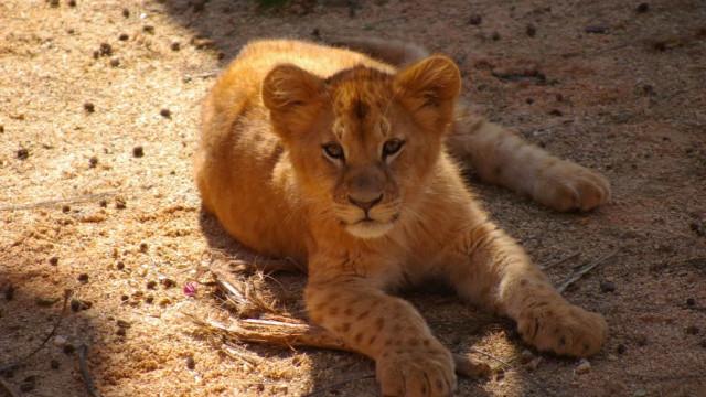 Na Semana do Ambiente, o Zoo dá as boas-vindas a três novas crias de Leão