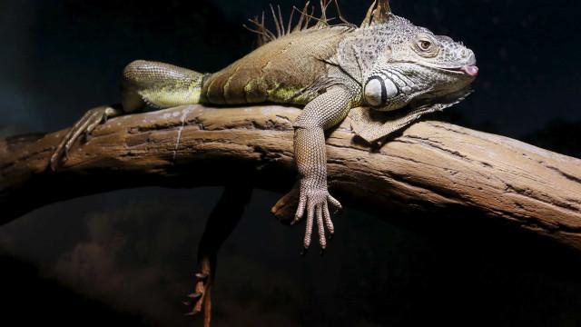 Iguana mata cão e deixa casal idoso hospitalizado. Aconteceu na Austrália