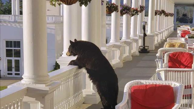 Este urso resolveu relaxar num hotel e o funcionário captou o momento