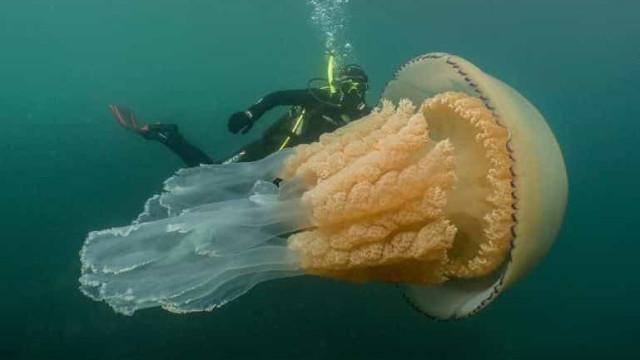 Alforreca gigante do tamanho de um humano descoberta na costa inglesa
