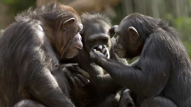 Estudo conclui que chimpanzés são mais sociáveis após verem filmes juntos