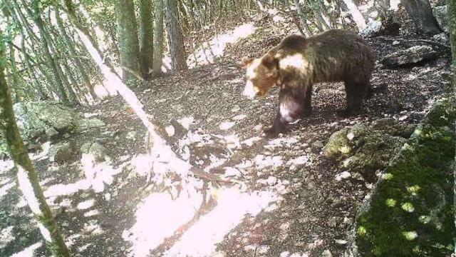 Urso pardo em fuga após conseguir ultrapassar barreiras elétrica