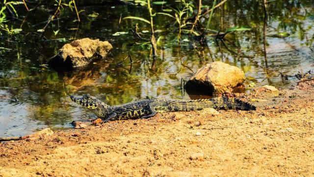 Reptilário na Austrália alvo de assalto perde crocodilo bebé e duas pitão
