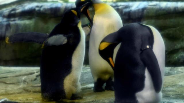 Uma história que encanta a Alemanha: Pinguins gays adotaram um ovo