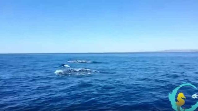 Grupo de orcas surpreende turistas no Algarve