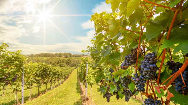 Este ano, há boas perspetivas para as produções de pomares e vinhas
