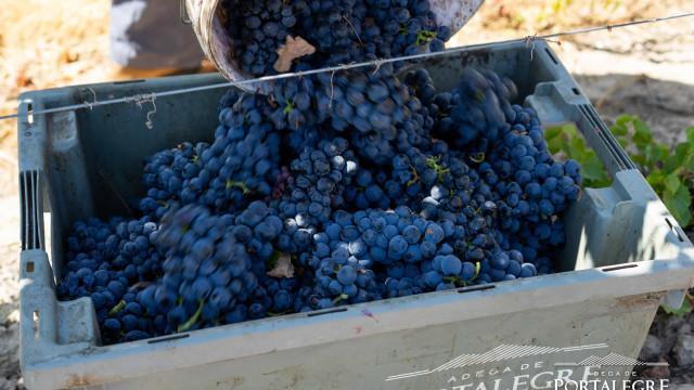 Vindimas na Adega de Portalegre prometem vinhos com maior qualidade