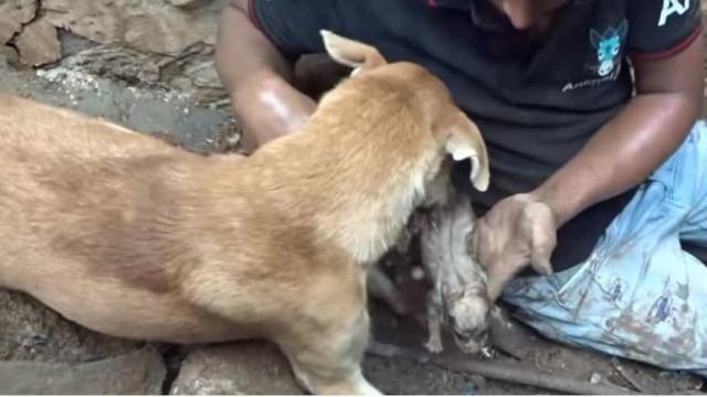 Vídeo comovente: Cadela a ajuda a salvar filhotes soterrados