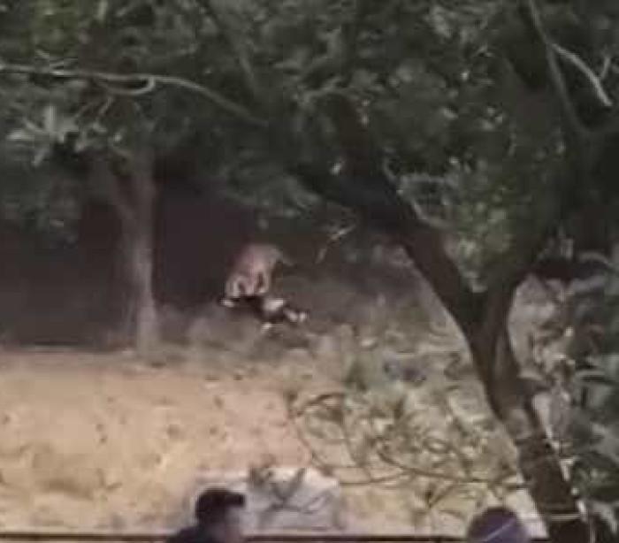 Homem não quis pagar bilhete de zoo e acaba morto pelos tigres