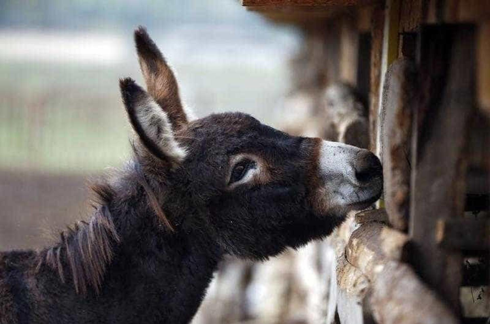 New York Times compara portugueses a... burro mirandês