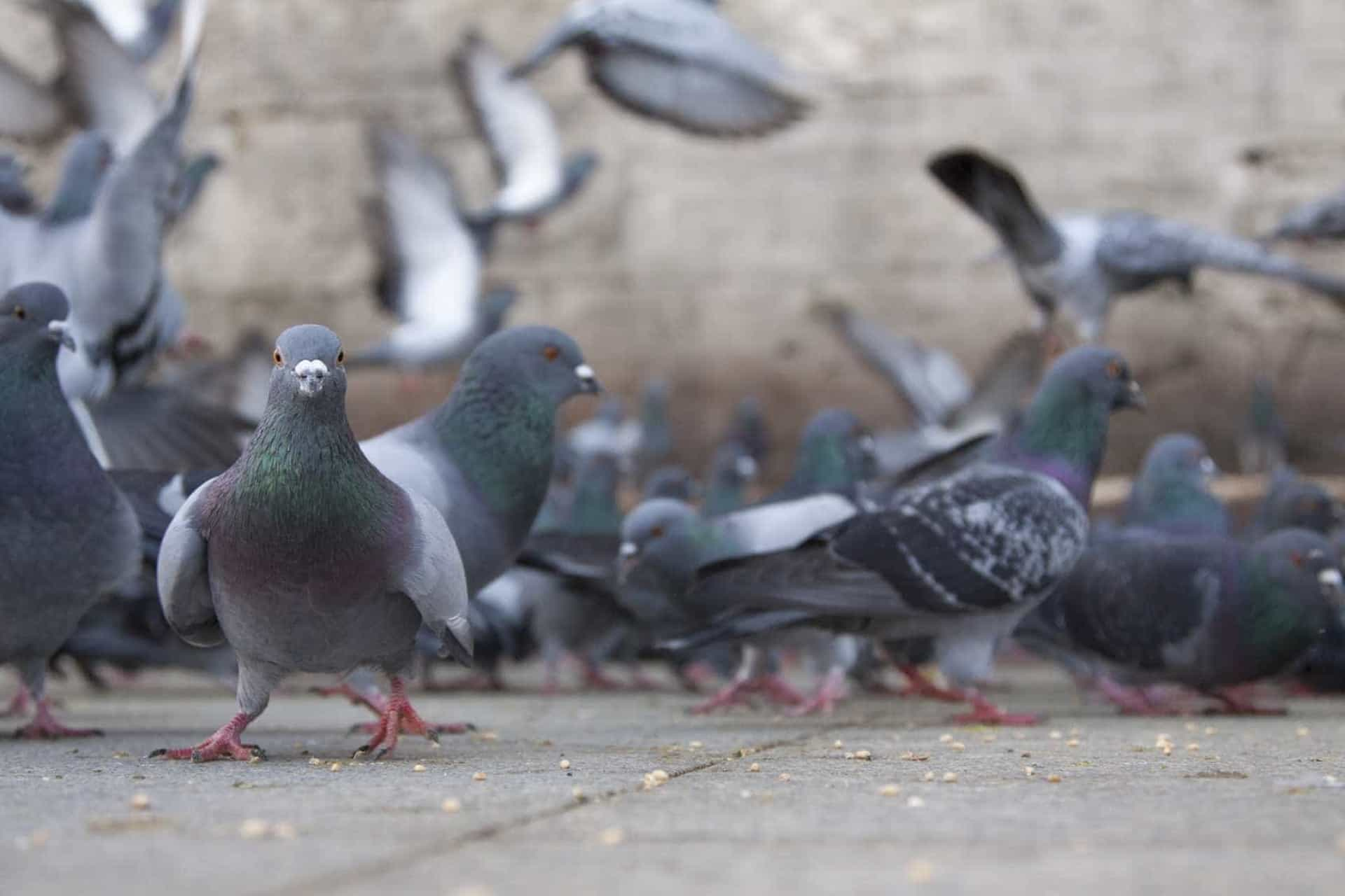 Câmara de Lisboa proíbe alimentação de pombos. Associação indigna-se
