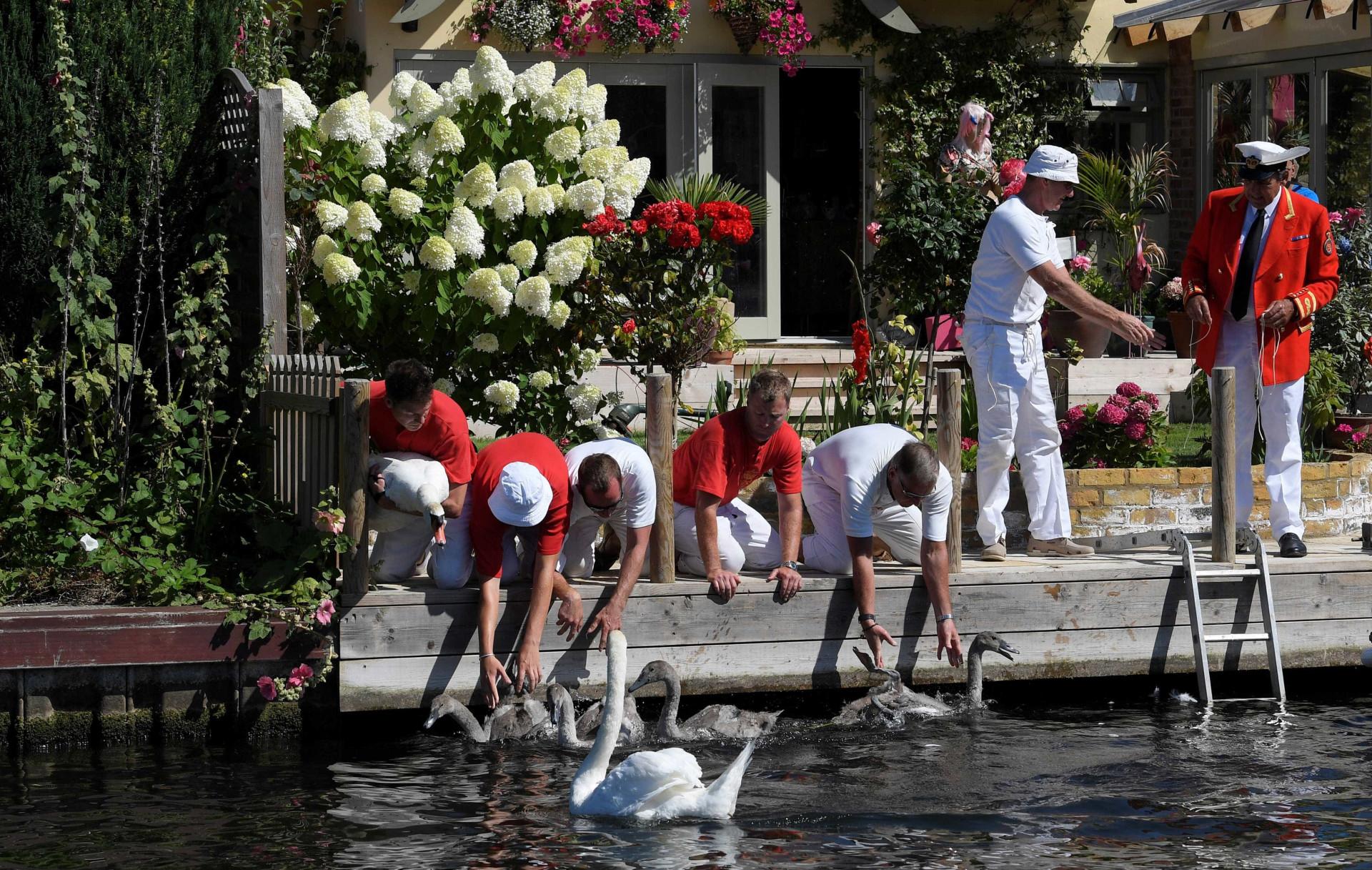 Britânicos voltam a contar, medir e pesar todos os cisnes de Londres