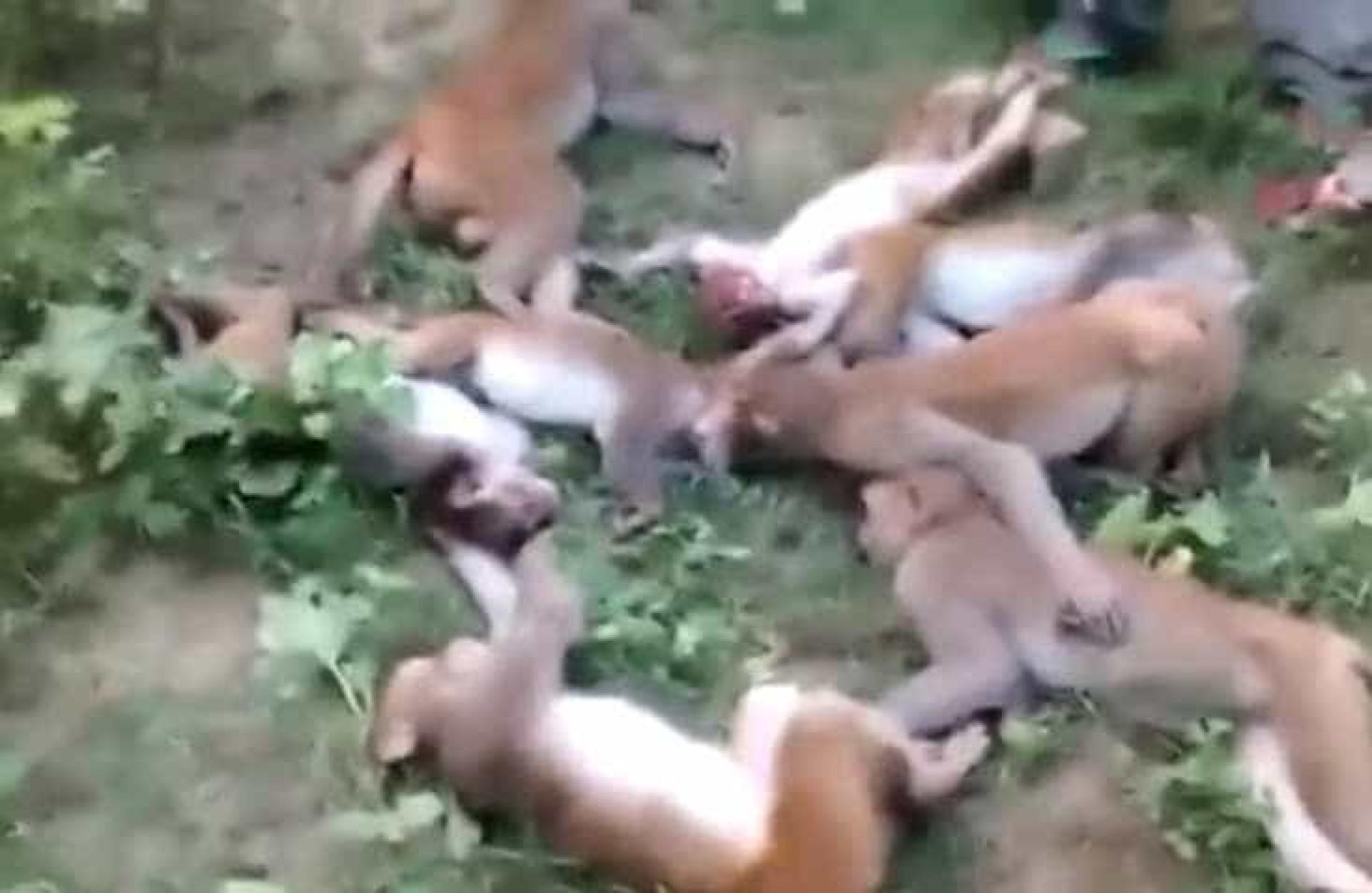 Estes macacos terão morrido (literalmente) de susto
