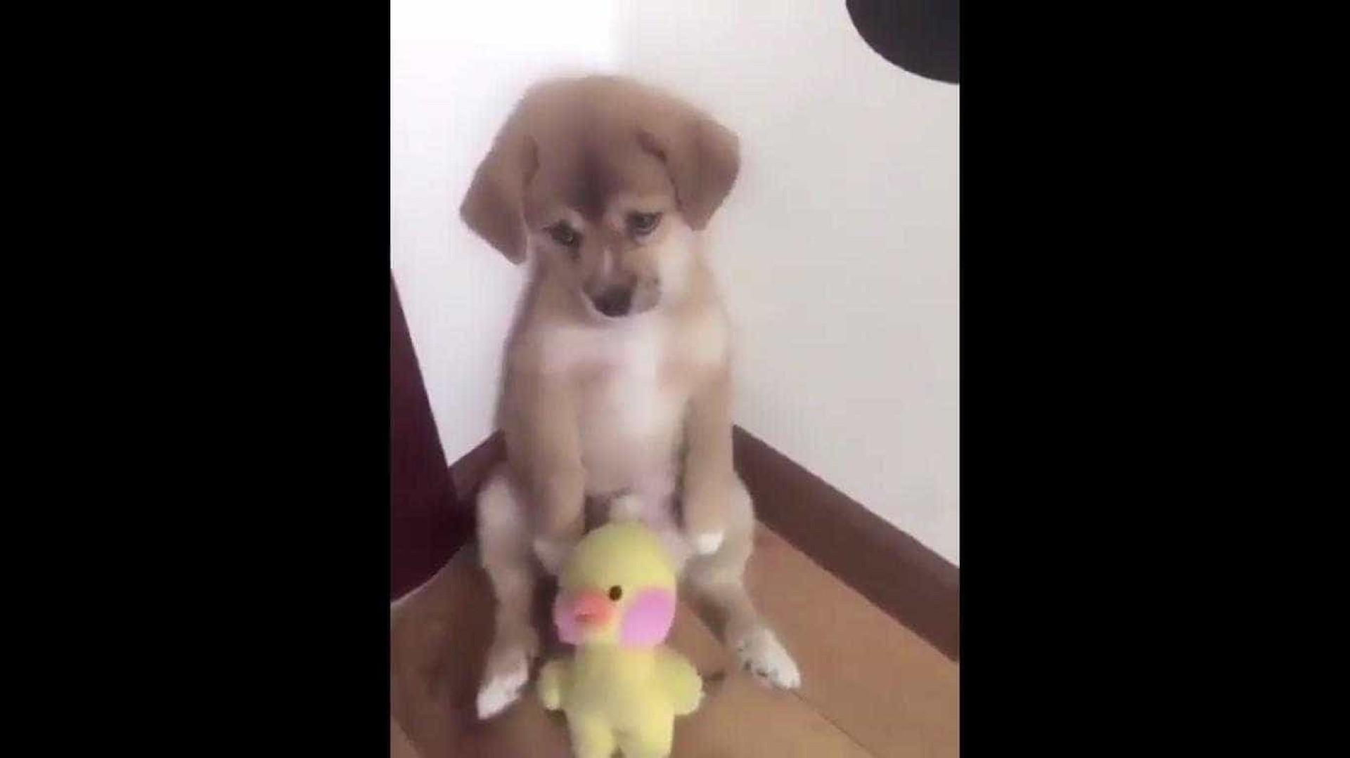 Vídeo adorável de cachorrinho a levar raspanete torna-se viral