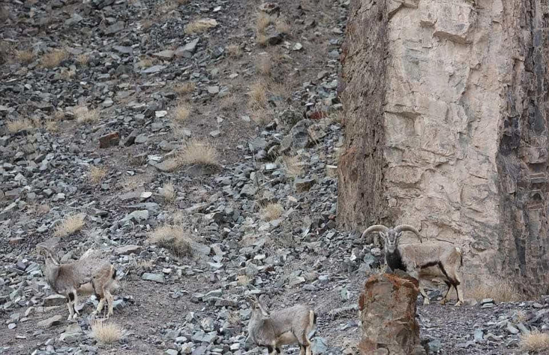 É muito difícil ver o leopardo nesta imagem. Pior foi para os carneiros