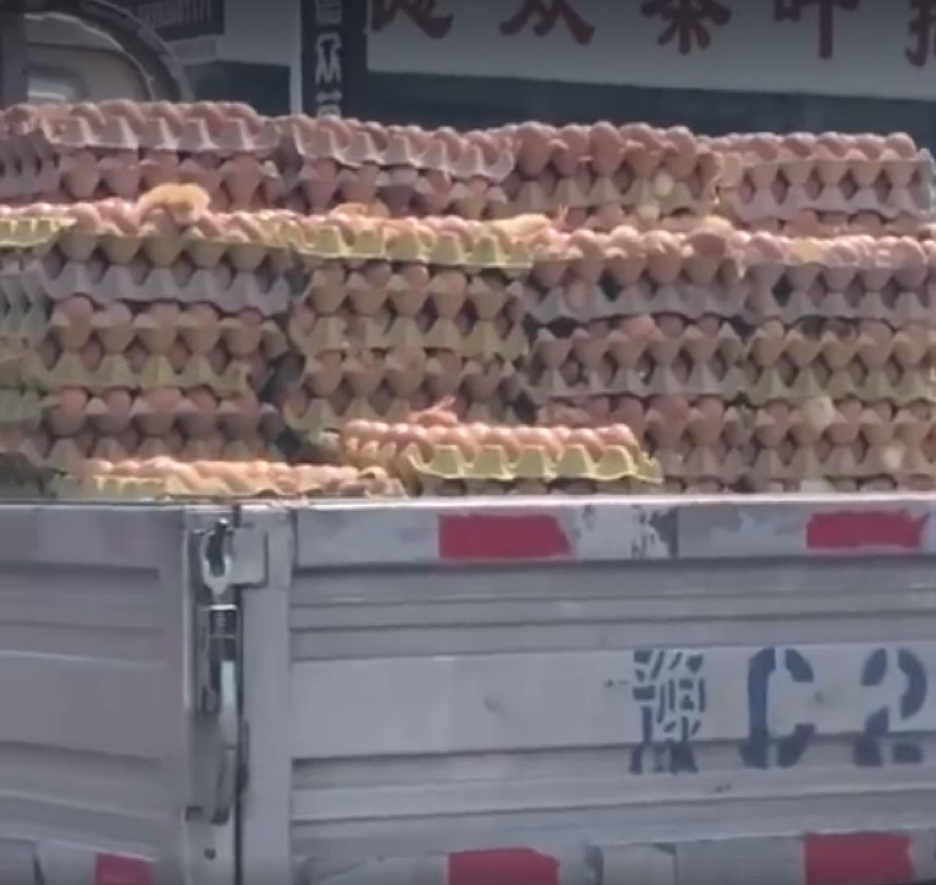 Pintainhos nascem em camião de transporte de ovos na China