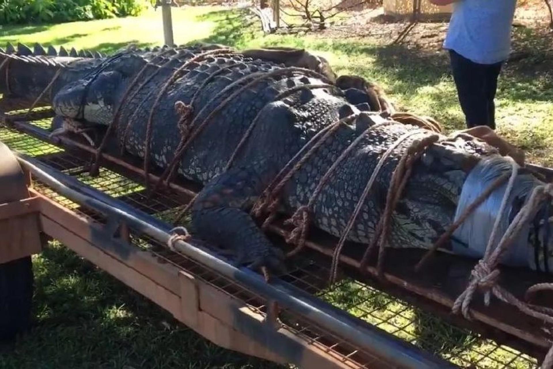 Capturam crocodilo 'gigante' com mais de meia tonelada na Austrália
