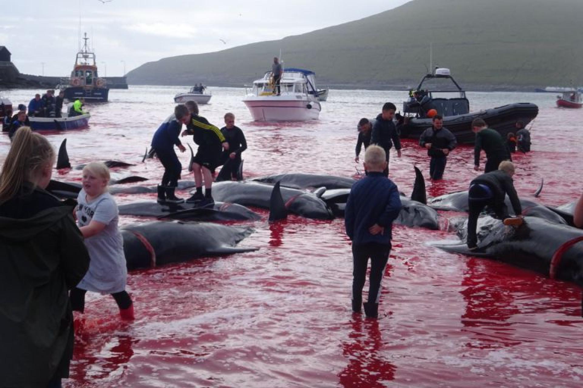 Mar 'pintado' de vermelho depois da morte de 180 baleias nas Ilhas Faroé