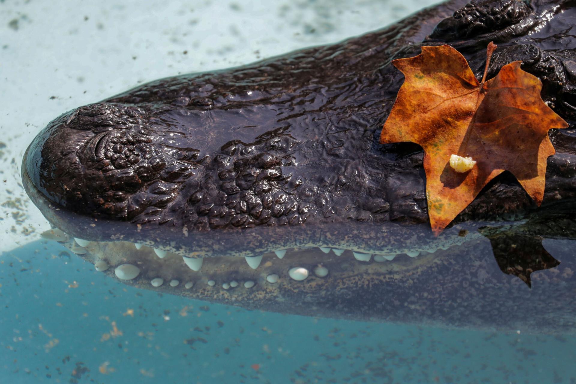 Conheça o octogenário Muja, o jacaré americano mais velho do mundo