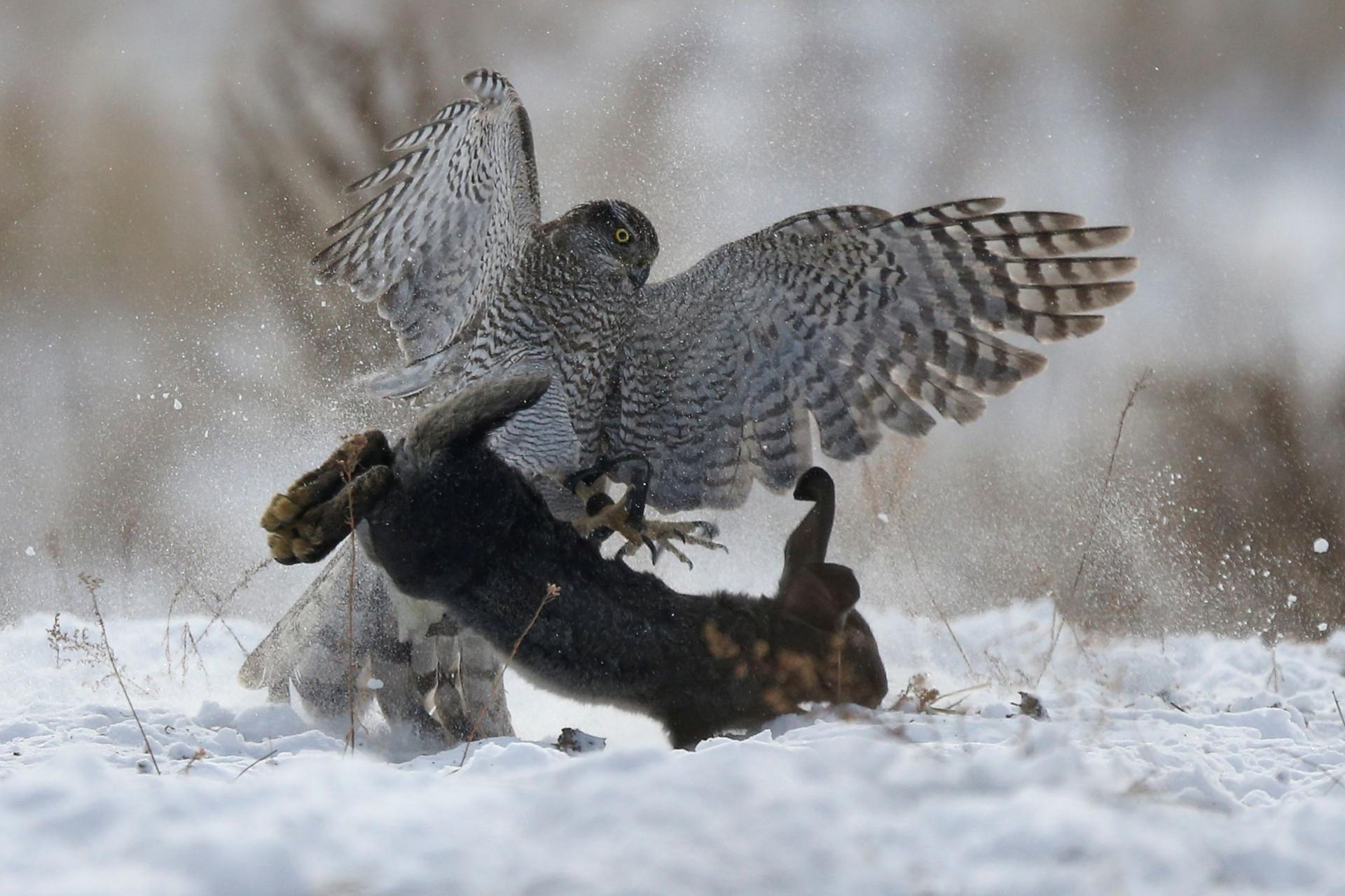 No Cazaquistão ainda se caça com a ajuda de águias