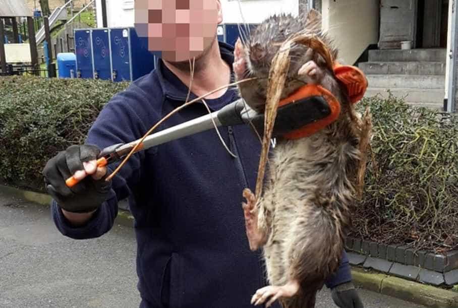 Capturada ratazana gigante nos arredores de Londres