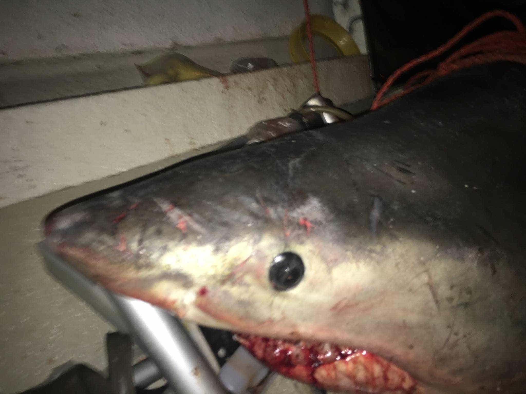 Tubarão entra em barco e fere pescador na Austrália
